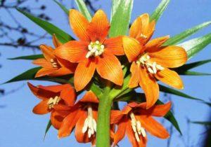 Айгуль - цветок, который расцветает каждый год в апреле в Баткене. Эндемичный, уникальный красивый